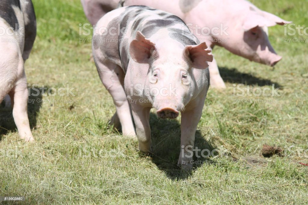 Duroc pigs grazing on the meadow stock photo