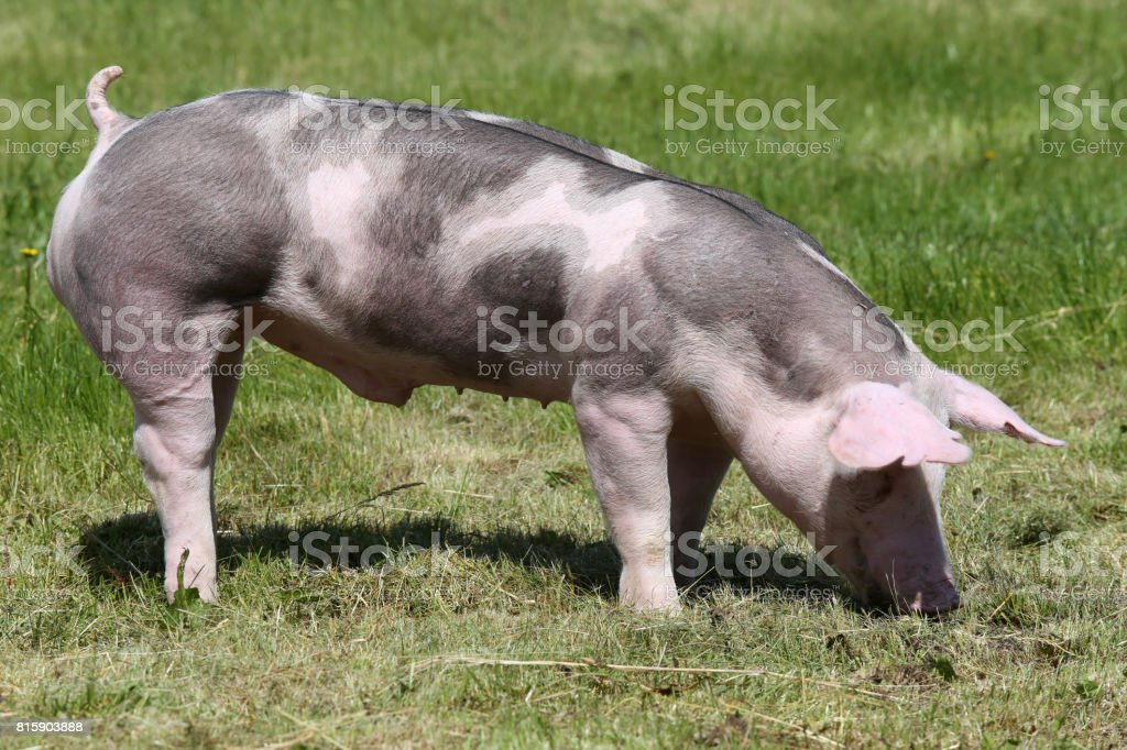 Duroc pigs on the meadow at animal farm summertime stock photo