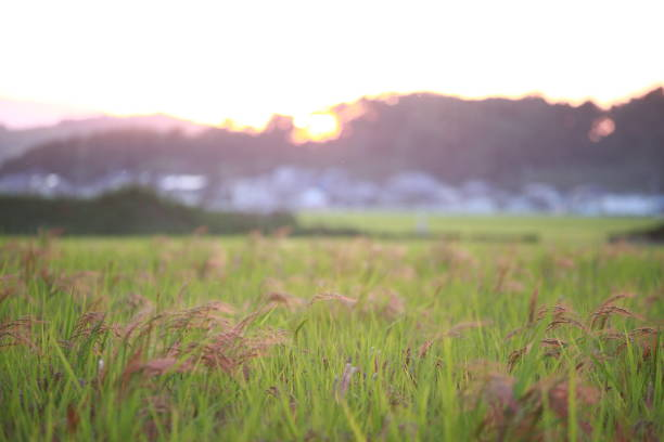 dusk and rice ear - satoyama scenery stock photos and pictures