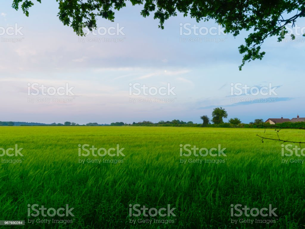 Dusk decends over a field of green wheat stock photo