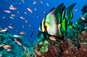 Some Dusky Batfish Platax pinnatus and a lot of mostly female Sea Goldies Pseudanthias squamipinnis. Platax pinnatus occurs in Western Pacific in a depth range from 12-30m , max. length 45cm. Some juvenile Moonwrasses Thalassoma lunare and a Bignose Unicornfish Naso vlamingii. East of Komodo Island, Indonesia, 8°30'58\