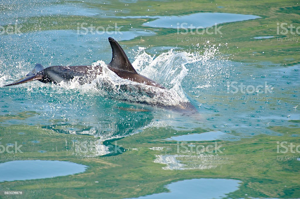 Dusky Dolphin playing stock photo
