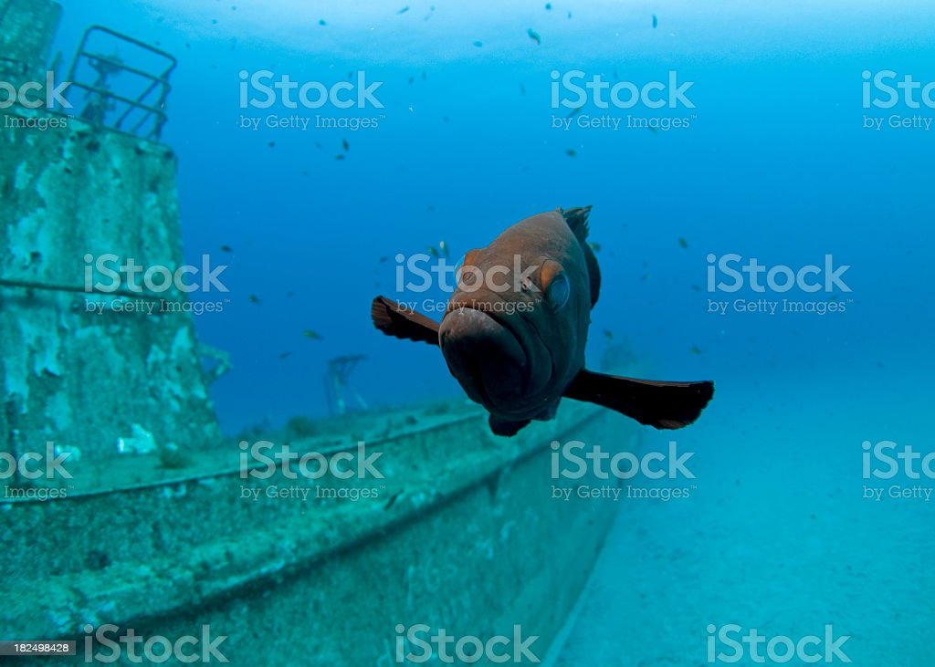 dusky grouper close up with a shipwreck in the background stock photo