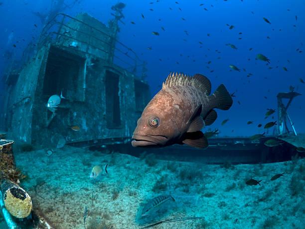 Dusky grouper on a shipwreck stock photo
