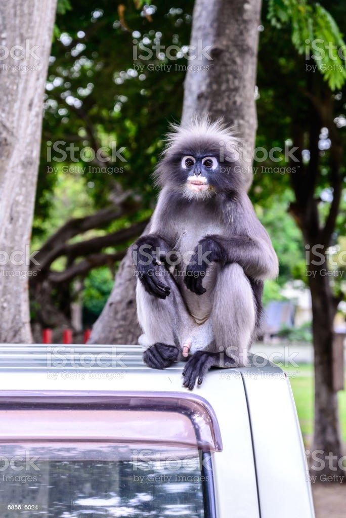 Dusky leaf monkey, Dusky langur, Spectacled langur. Lizenzfreies stock-foto