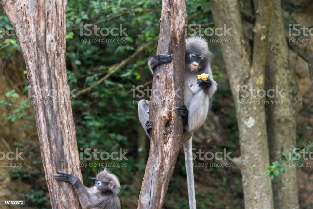 Dusky leaf monkey in the forest. stock photo