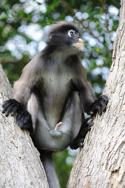 dusky leaf monkey - monkey stock photos and pictures