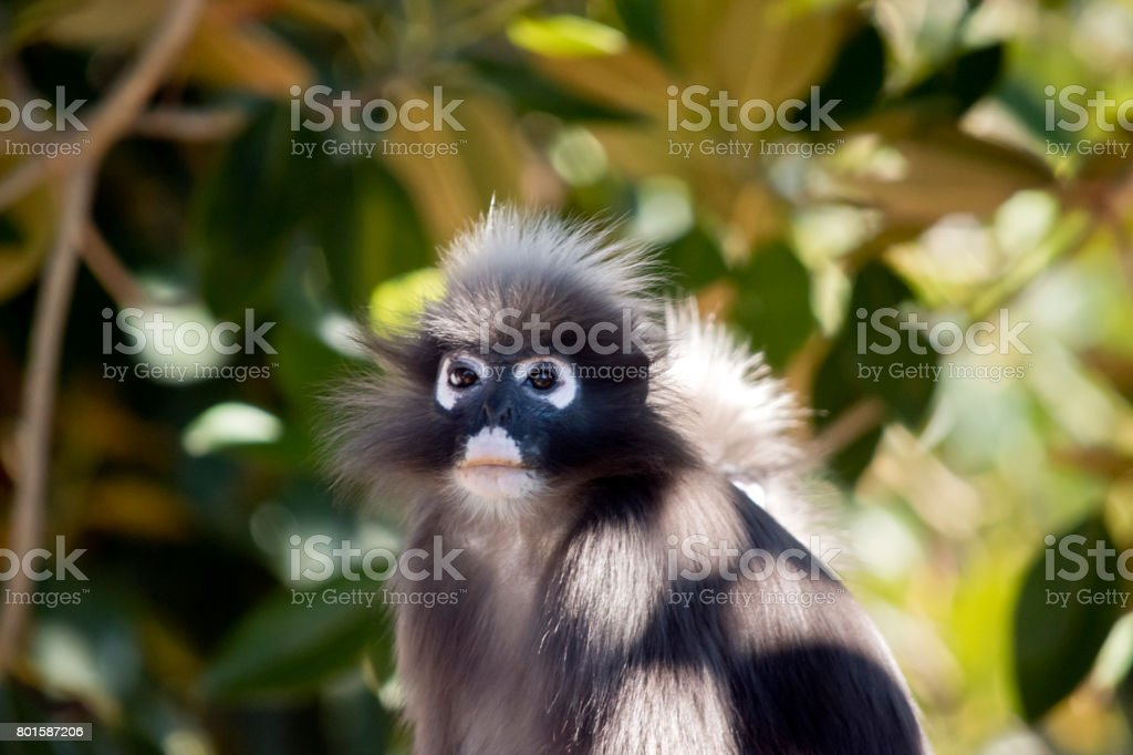 dusky leaf monkey stock photo