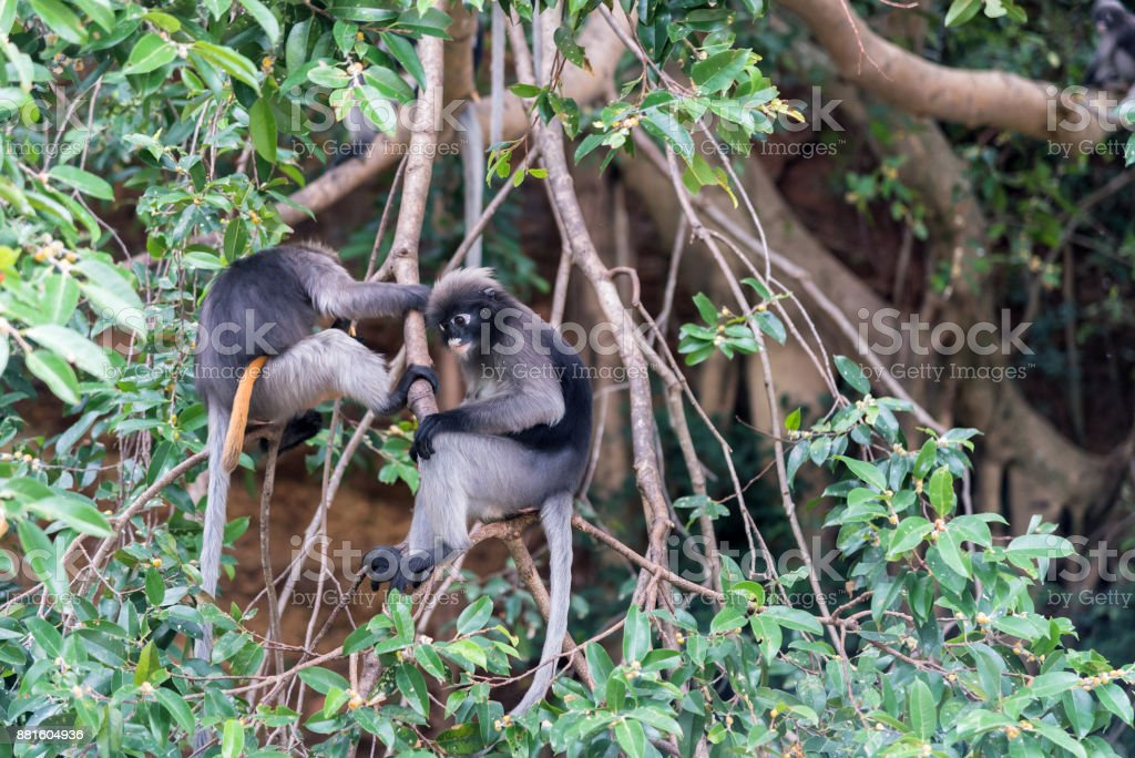 Dusky leaf monkeys on the tree. stock photo