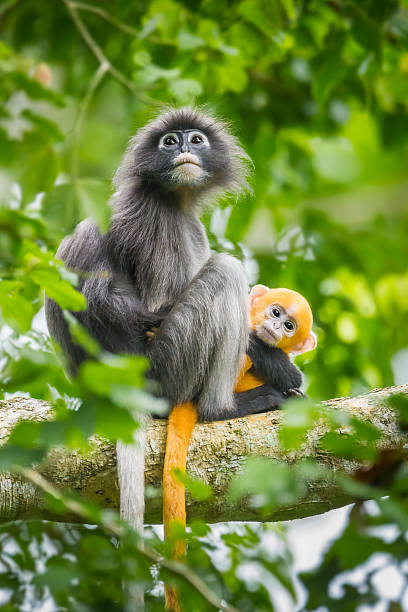 Dusky Leaf-monkey Dusky Leaf-monkey(Trachypithecus obscurus) with her very young baby in nature at Kengkrajarn national park Thailand langur stock pictures, royalty-free photos & images
