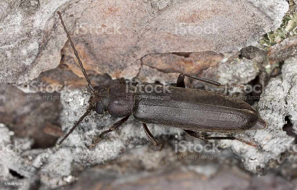 Dusky longhorn (Aphopalus rusticus) on wood, macro photo stock photo