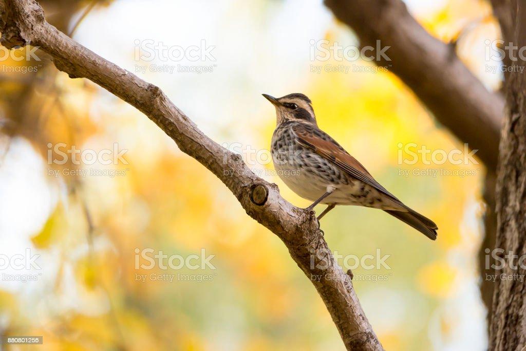 Dusky lijster op een tak in de herfst foto