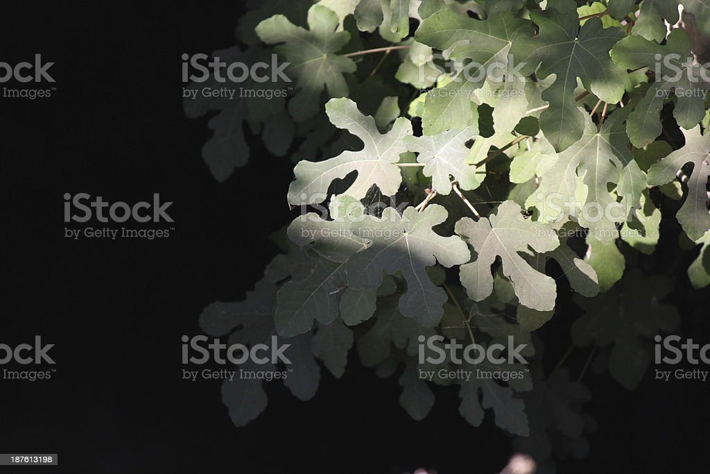 Dusty Fig Leaves stock photo