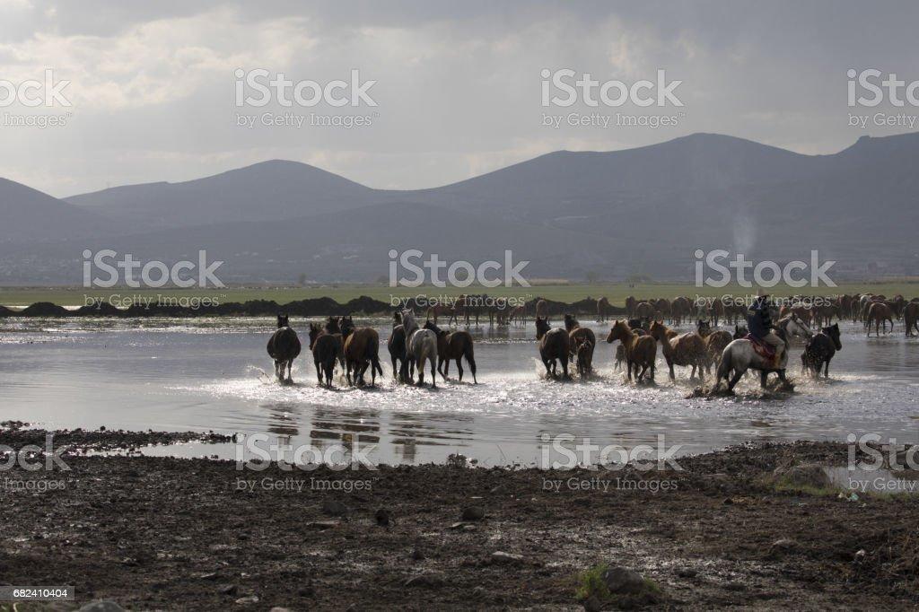 Étalons sauvages poussiéreux photo libre de droits