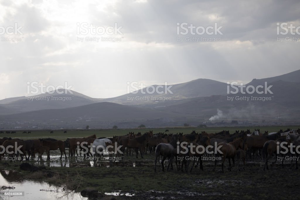 Dusty wild stallions royalty-free stock photo