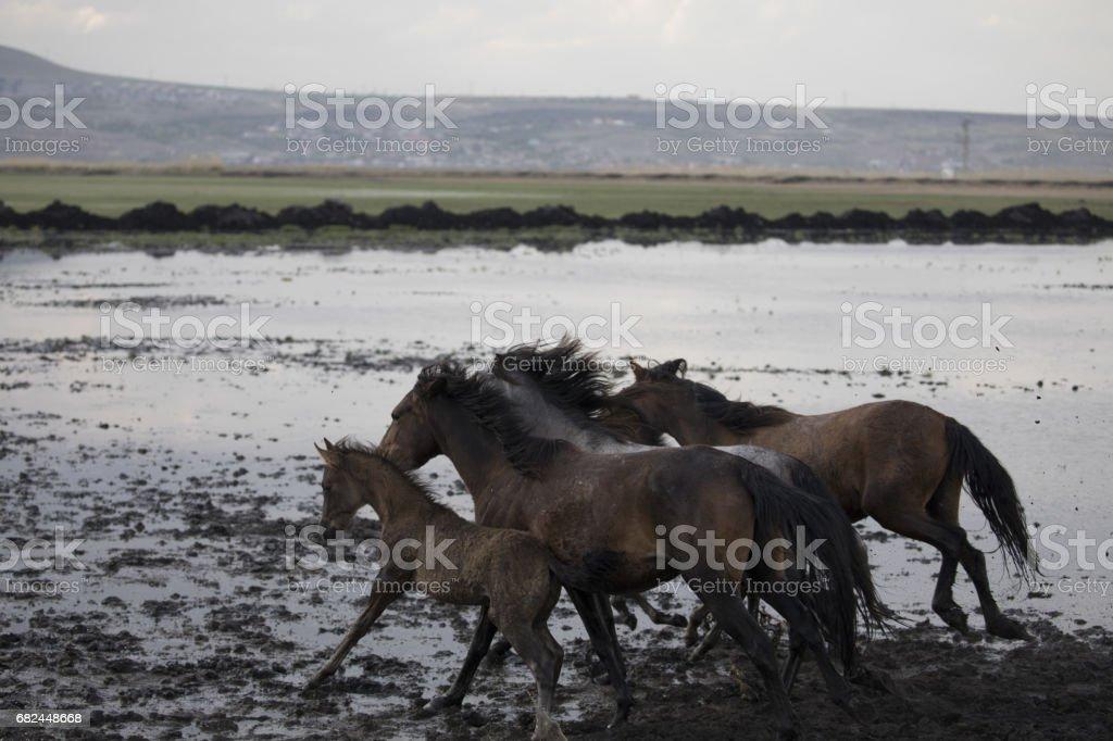 Dusty wild stallions royalty-free stock photo