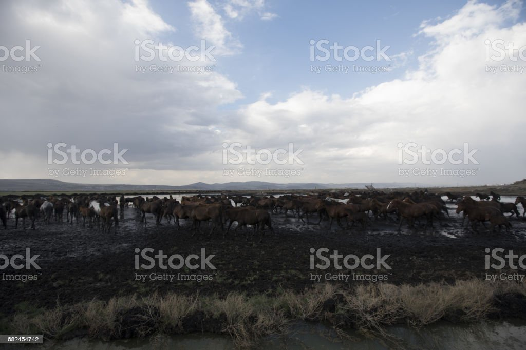 Tozlu vahşi aygır royalty-free stock photo