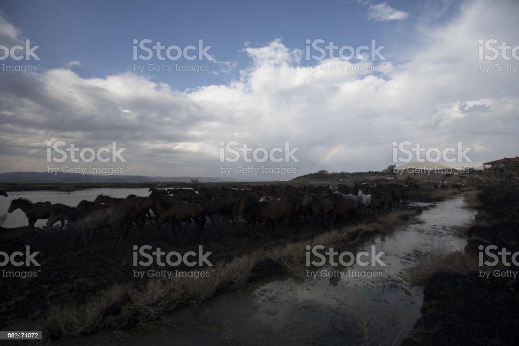 Dusty wild stallions foto de stock royalty-free