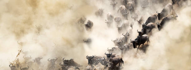 Dusty Wildebeest River Crossing Web Banner African wildebeest great migration crossing over the Mara River in dusty dramatic scene wildebeest running stock pictures, royalty-free photos & images