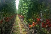 オランダのバイオ農業、成長するブドウの屋内、熟した、unripe トマト トマトと大きな温室効果