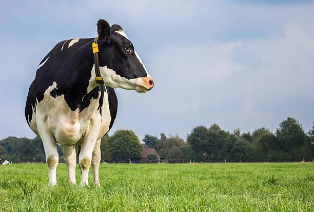 dutch black and white cow in a grass meadow - single pampas grass bildbanksfoton och bilder