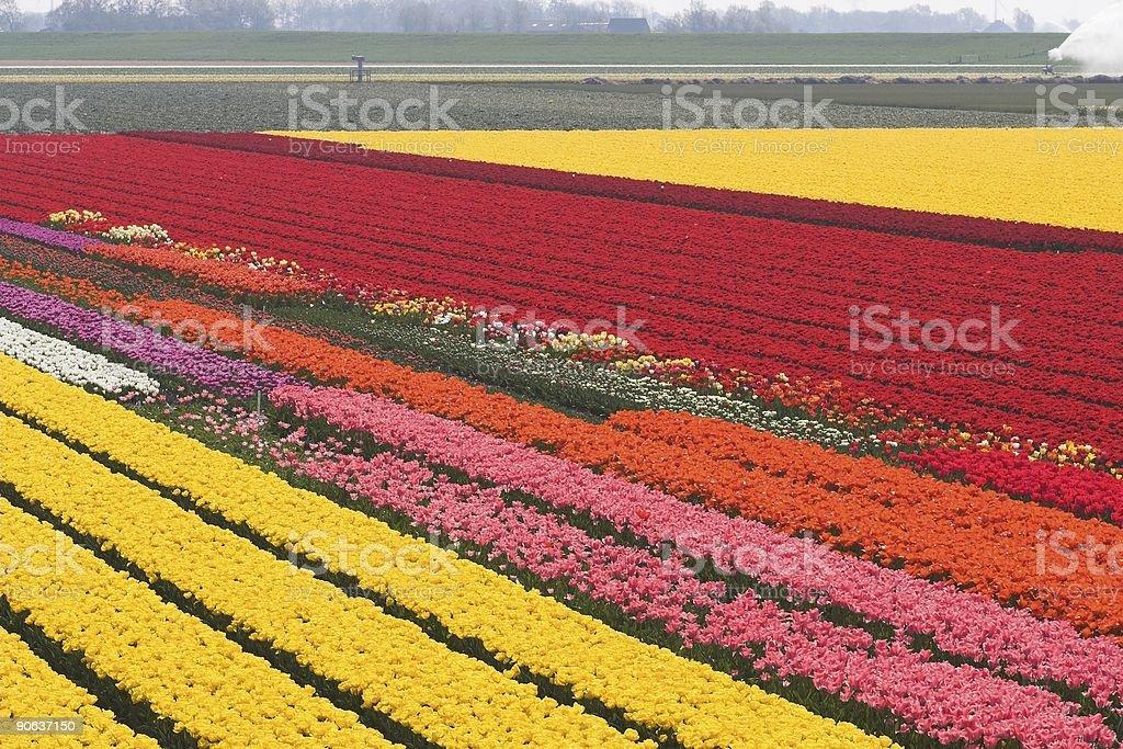 Dutch bulb fields royalty-free stock photo