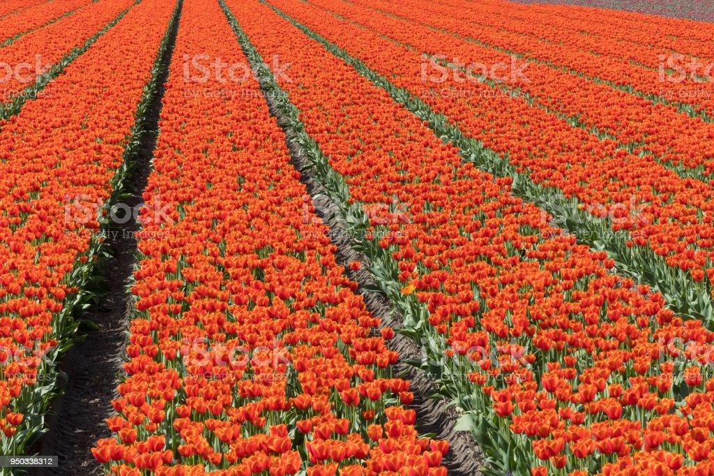 Niederländische Birne Flowerfield in der Nähe von Keukenhof Gärten – Foto