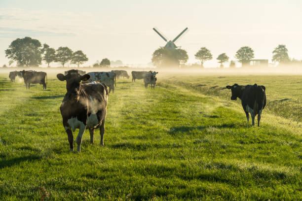 Dutch cattle stock photo