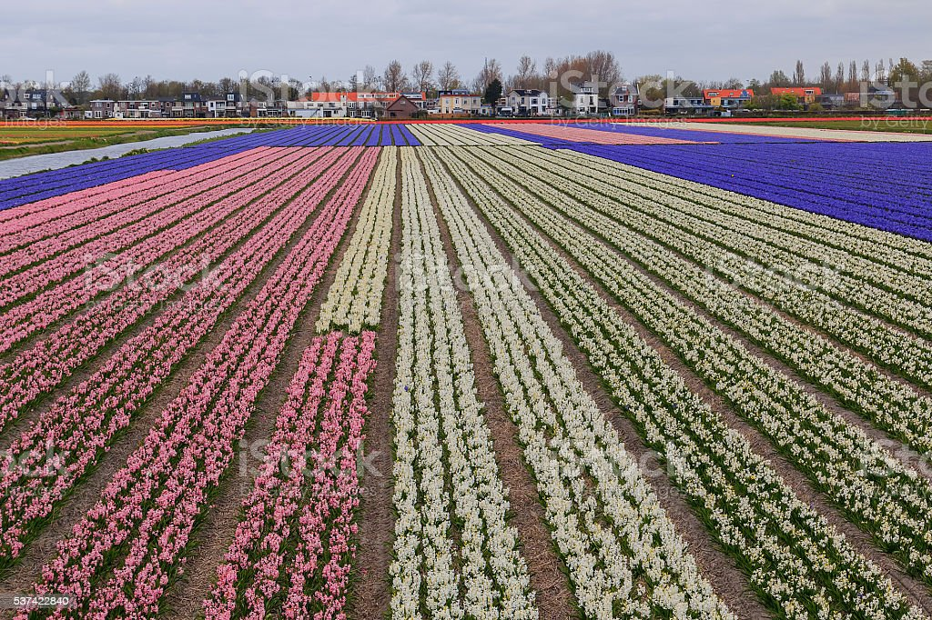 Dutch colorful spring flower fields stock photo