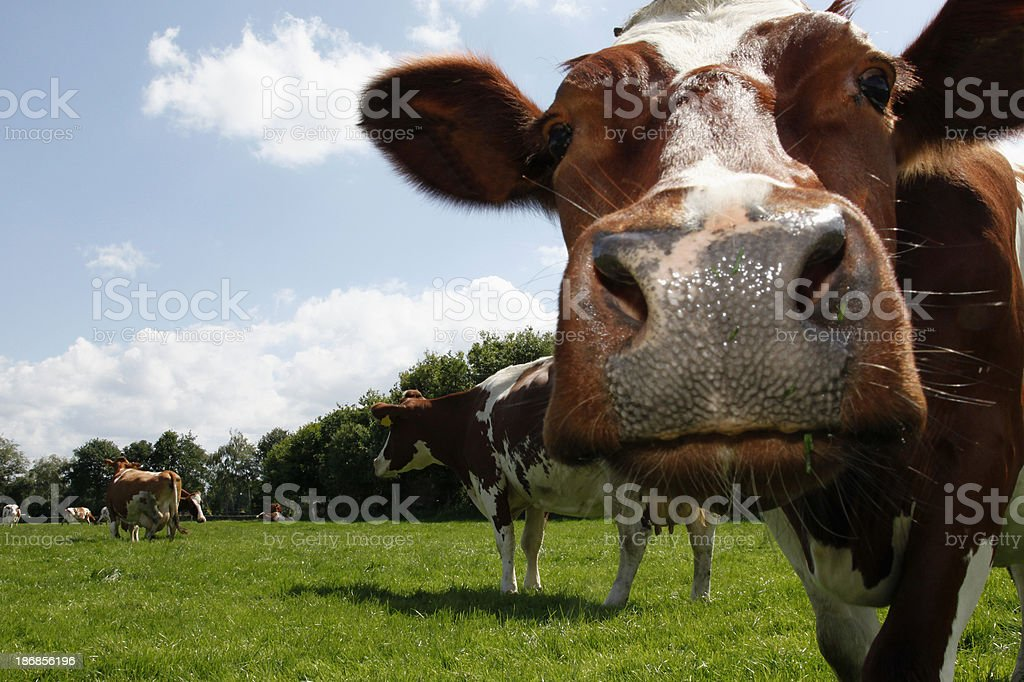 Dutch cow royalty-free stock photo