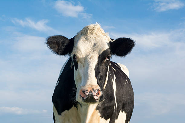 Dutch cow Dutch Holsteiner cow dairy cattle stock pictures, royalty-free photos & images