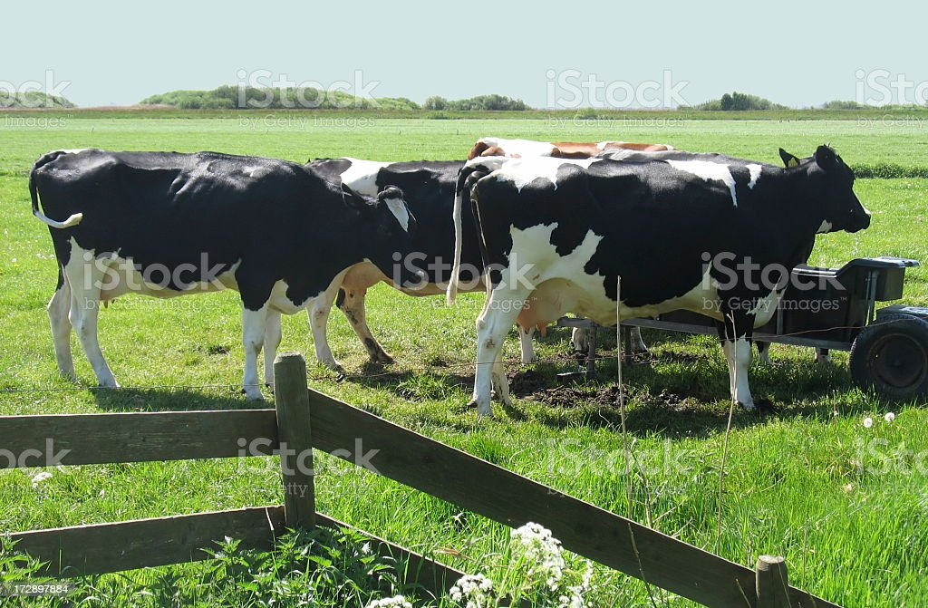 Dutch dairy cows in green meadow royalty-free stock photo