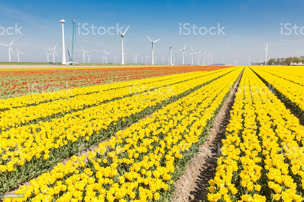 Dutch fields with yellow tulips and wind turbines stock photo