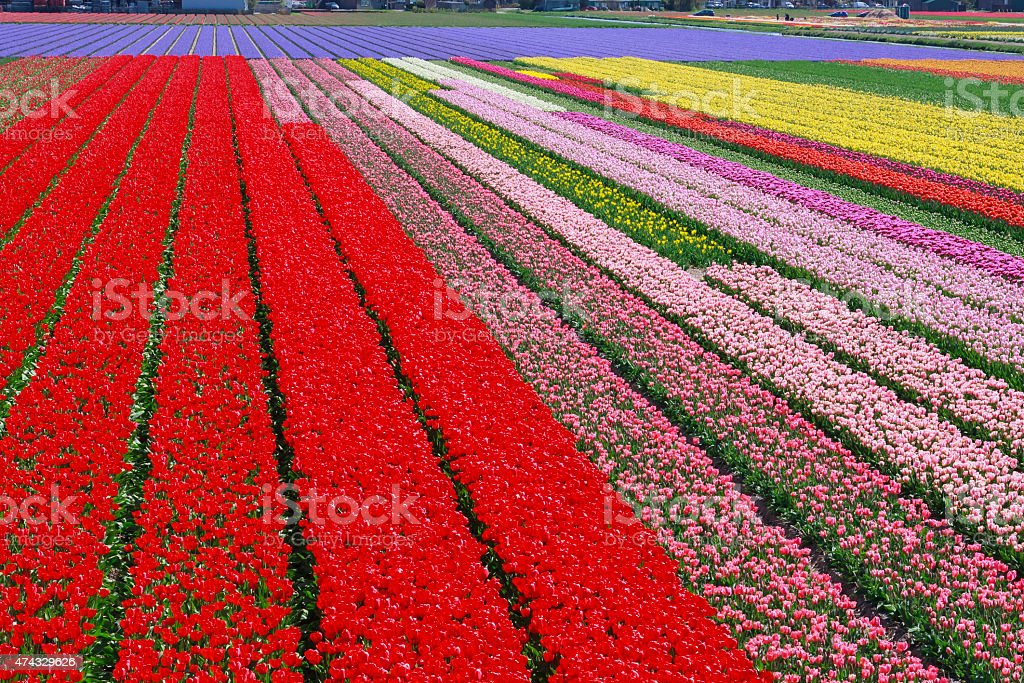 Dutch flower field stock photo
