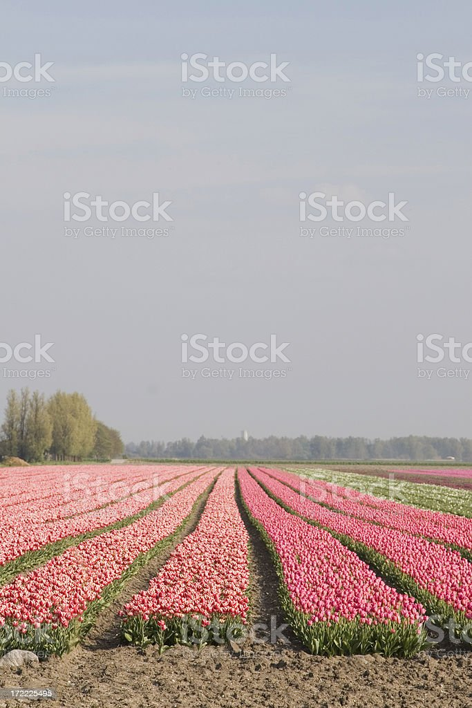 Dutch flowerfields royalty-free stock photo