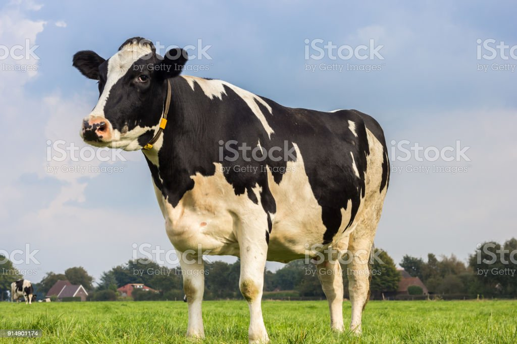 Dutch Holstein black and white cow in a meadow stock photo