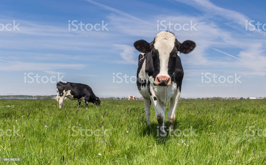 Dutch Holstein cow standing in the green grass stock photo