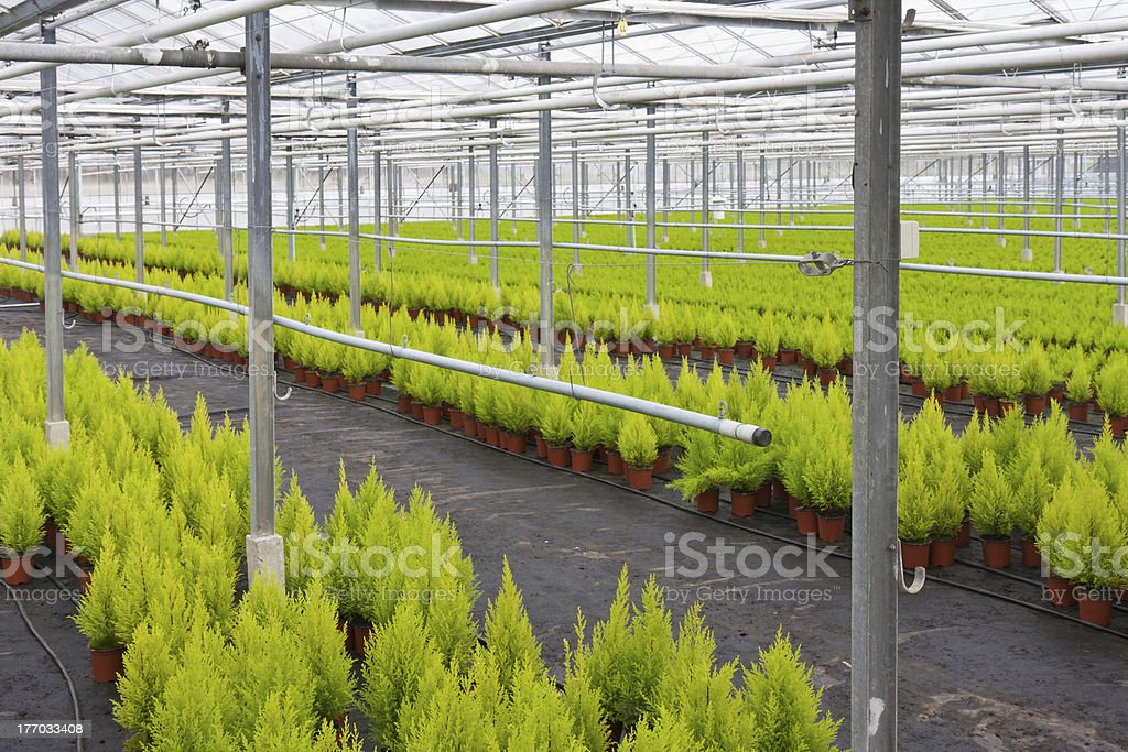 Dutch horticulture with cupressus in a greenhouse royalty-free stock photo