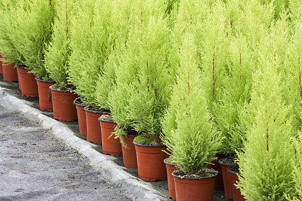 horticulture néerlandaise de cyprès dans une serre - Photo