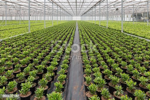 Dutch greenhuis with cultivatioan of Skimmia plants