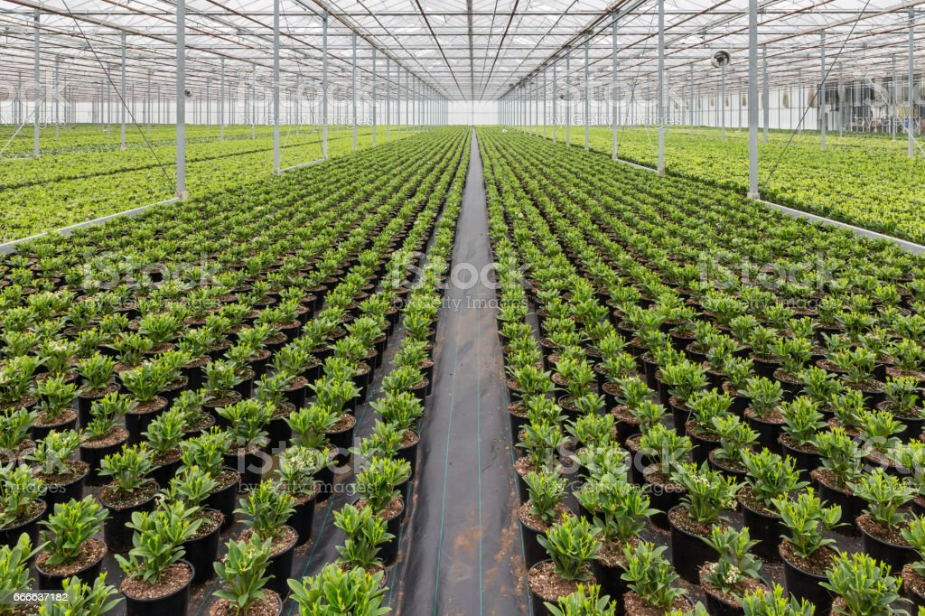 Dutch hothuis with cultivatioan of Skimmia plants stock photo