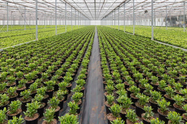 dutch hothuis with cultivatioan of skimmia plants - norrbotten bildbanksfoton och bilder