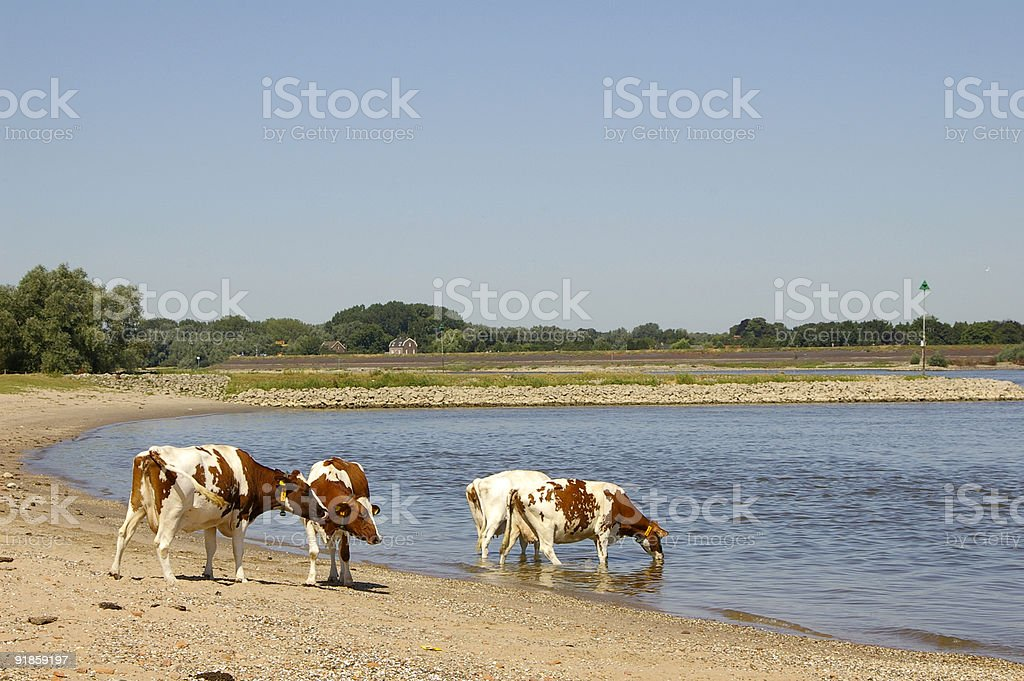 Dutch Landscape: Cows on the River Beach royalty-free stock photo