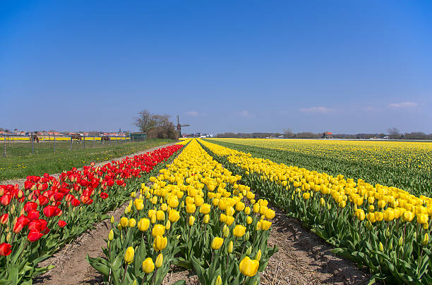 Dutch landscape of colorful tulips.​​​ foto