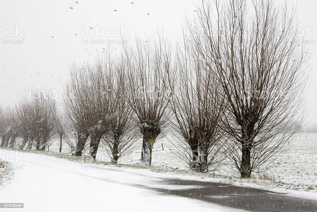 Dutch Landscape: Pollard-Willows in the Snow royalty-free stock photo