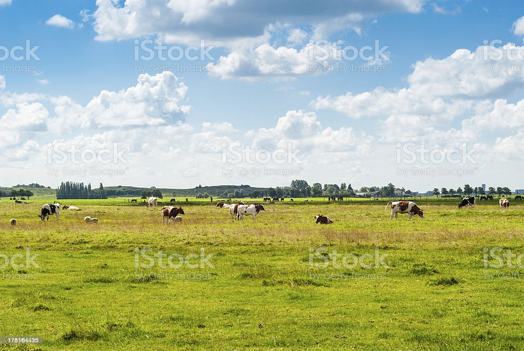 Dutch landscape with cows royalty-free stock photo