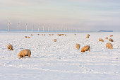 Dutch winter landscape with wind turbine and sheep in snow covered meadow searching for grass