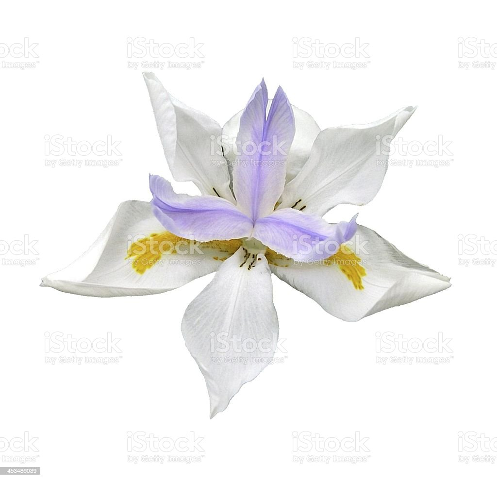 Dutch Lavender Iris Isolated on White stock photo