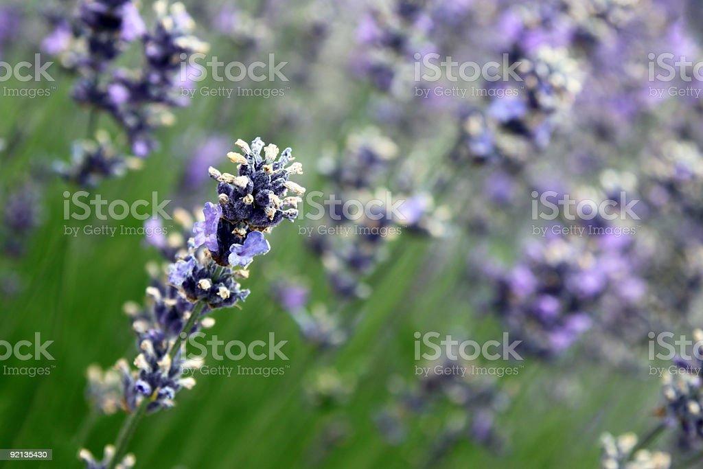 Dutch Lavender (Lavandula x intermedia)  Agricultural Field Stock Photo