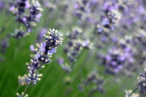 Dutch Lavender Stock Photo - Download Image Now